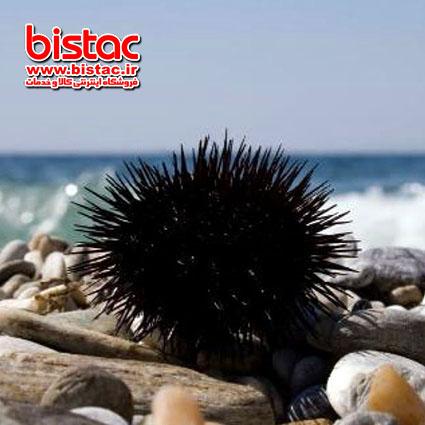 Treatment sea urchin wound-bistac-ir